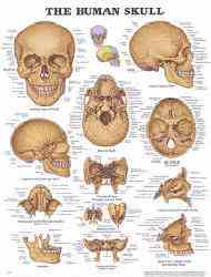 Human Skeletal System Anatomical Charts Anatomy Posters
