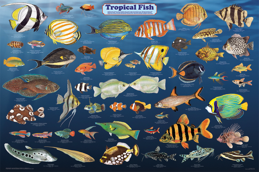 Tropical fish poster sea life posters pictures prints for Small tropical fish