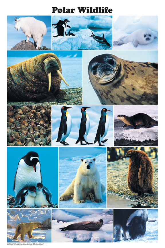 Polar Wildlife poster - seals, polar bears, penguins